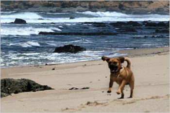 beach puggle