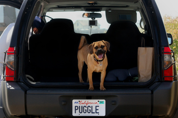Puggle Licence plate