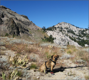 Puggle_preston_tahoe3