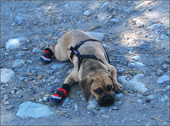 Puggle_Preston_tahoe4