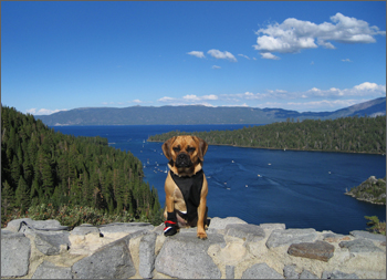 Puggle_Preston_tahoe1